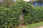 Живая изгородь из дикого винограда