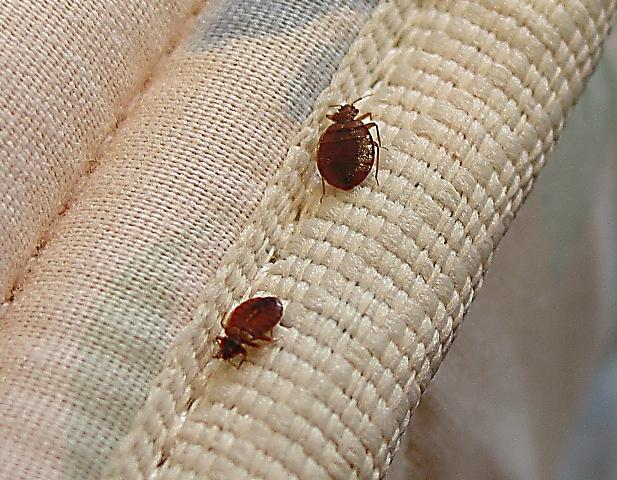 Кровососущие насекомые в квартире фото