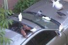 Птичий помет и автомобиль